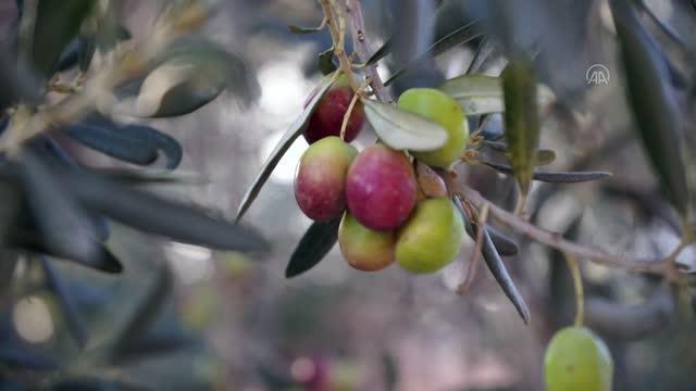 Balıkesir Zeytin üretimi Olive Turkey